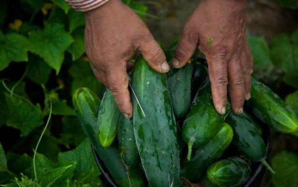 farmworker-hands