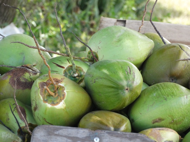 Close-up of picked green coconuts in a pile