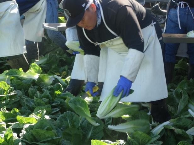 2.25.16 AZ Cutting Lettuce