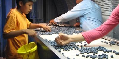 A farmworkerchild checke blueberries insode a cooler