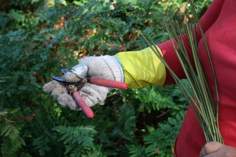 The scissor that fern cutters use and the glove the worker uses to protect the hand.