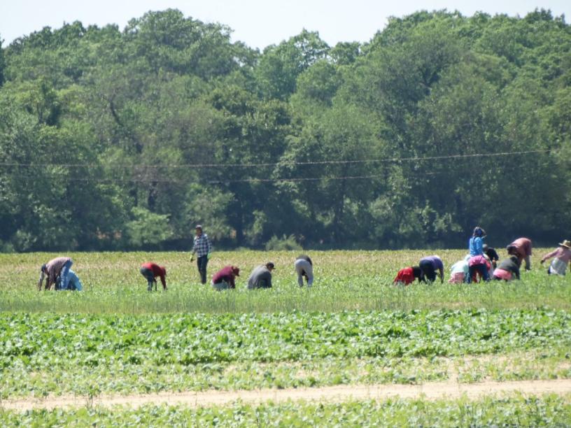 Farmworkers tending crops in a field.