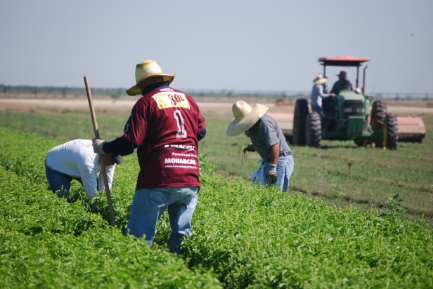 Three farmworkers bend over to pull weeds in a field full of lush green plants. One farmworker has a red t-shirt on and blue jeans and is holding a hoe. A large tractor is visible in the background, sitting idle while the operator pauses to talk with a fourth farmworker.