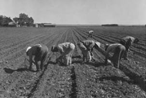 Farmworkers in the stooped position, using el cortito. Source: https://weallhaveaheritage.wordpress.com/2015/04/10/cesar-chavez-and-el-cortito-2/